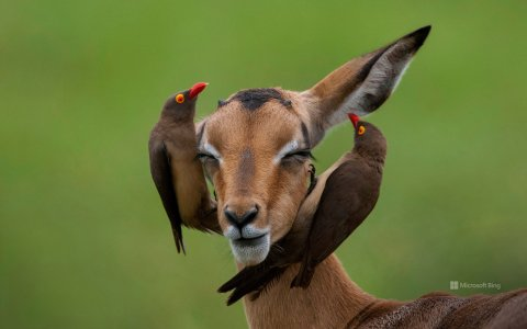 impala-et-pique-boeuf.jpg