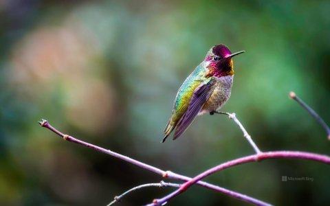 colibri.d-anna.jpg